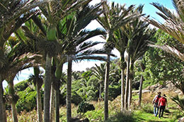 two people walking through a nikau palm forest
